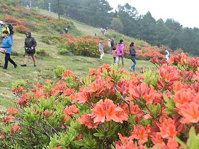 初夏を彩るレンゲツツジ 湯の丸高原、祭り期間延長