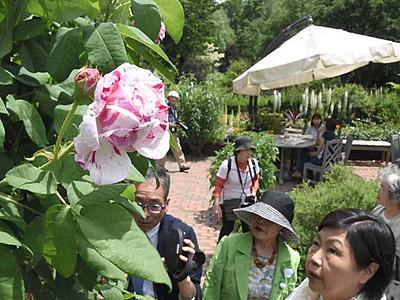 ショーの主役オールドローズ開花続々 茅野の英国式庭園