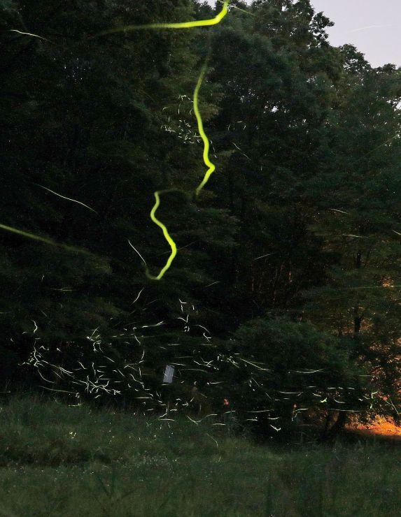 淡い光を放って飛ぶホタル=19日午後8時すぎ、長岡市の雪国植物園