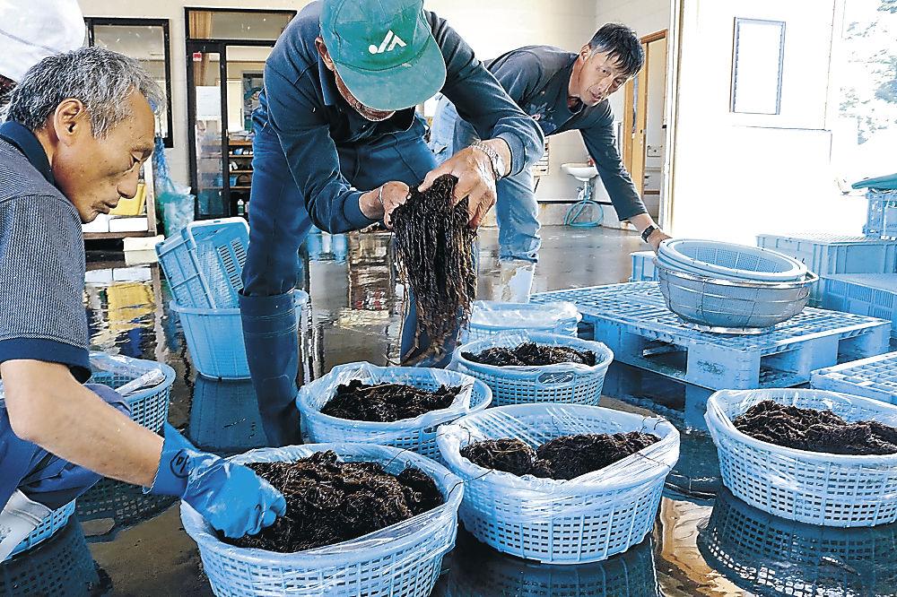 採取されたウミゾウメンを確認する漁業関係者=珠洲市高屋町の高屋漁港