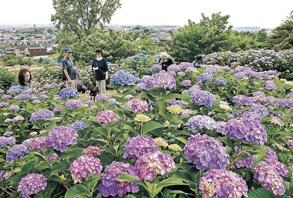 見頃を迎えたアジサイ=金沢市の大乗寺丘陵公園