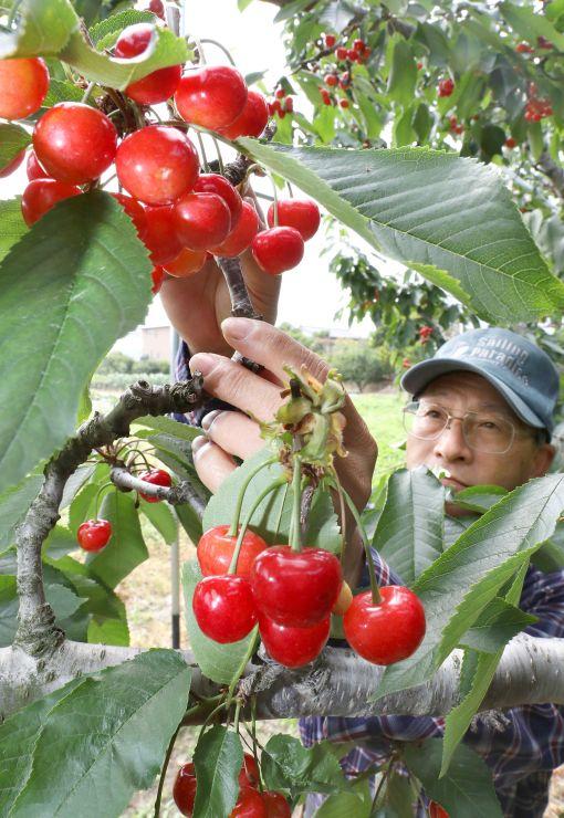 天候に恵まれ、真っ赤に色づいたサクランボ=22日、聖籠町二本松