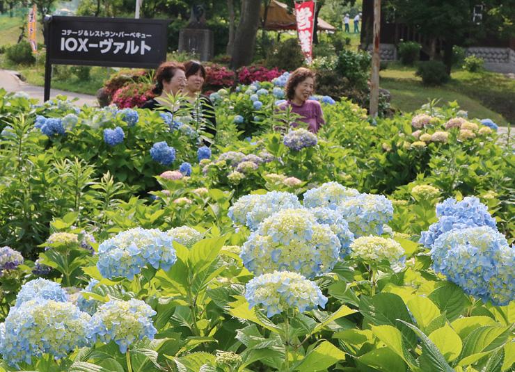 色とりどりの花を咲かせるアジサイ=イオックス・アローザスキー場周辺