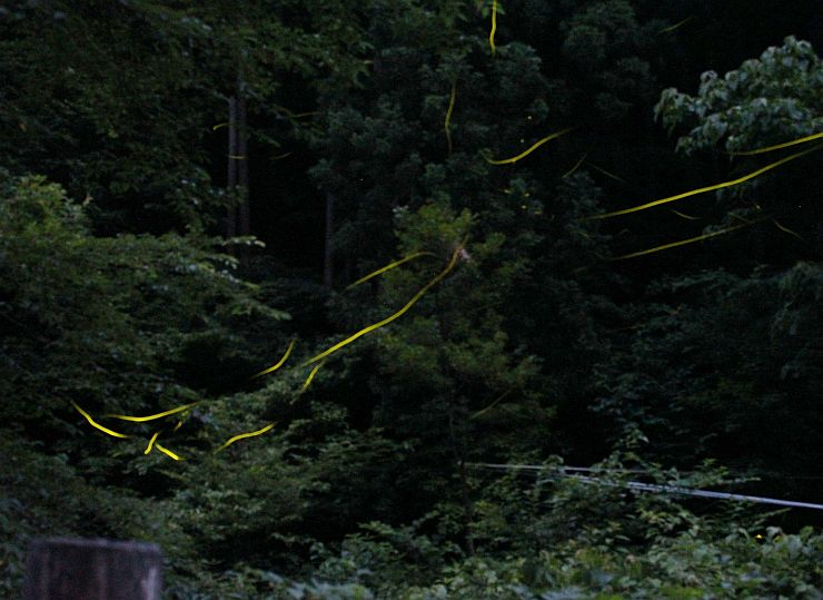 木立の間を光跡を残して飛び交うホタル=新潟市西蒲区岩室温泉