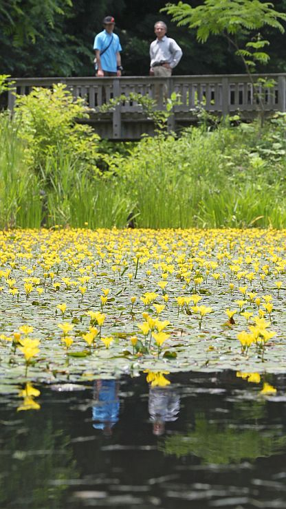 見ごろを迎えたアサザの花=29日、国営越後丘陵公園