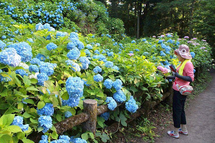 見頃を迎えたアジサイを眺める登山客=田上町の護摩堂山