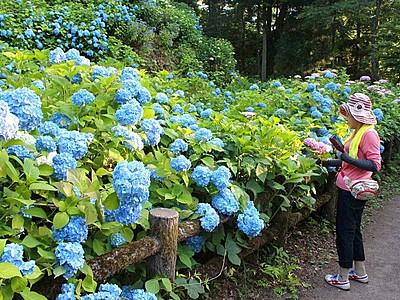 お待たせアジサイ見頃 3万株咲き誇る 田上・護摩堂山
