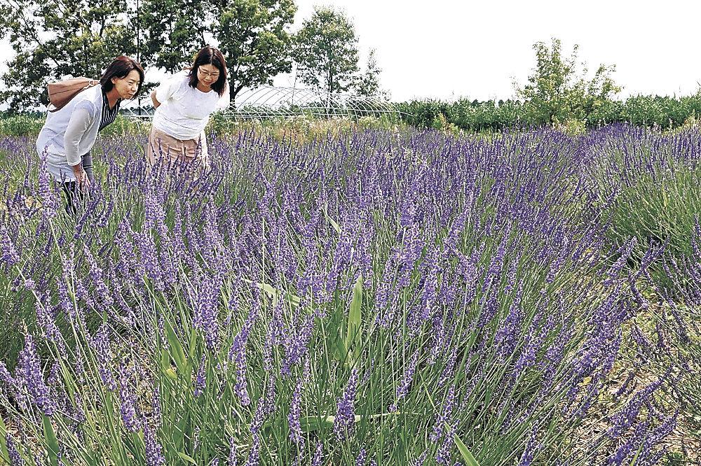 見頃を迎えたラベンダー=津幡町湖東のハーブ農園「ペザン」