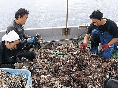 お待たせ黄金イワガキ 珠洲・飯田湾で漁始まる