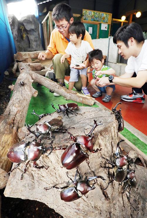 切り株の上を元気に動き回るカブトムシ=昆虫王国立山