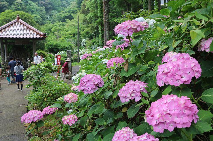 見ごろを迎え、みずみずしく花を咲かせる蓮華峰寺のアジサイ=2日、佐渡市小比叡