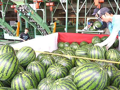 露地物スイカ、上々の出来 松本・波田で出荷始まる