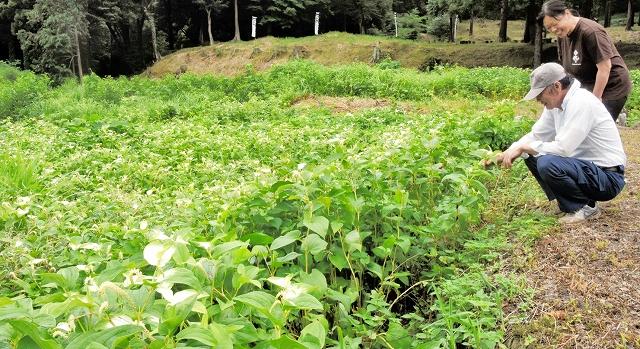 葉が白く色づき、見ごろを迎えたハンゲショウ=5日、福井県美浜町の若狭国吉城歴史資料館