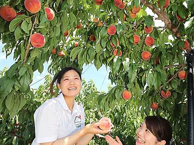 甘さしっかり、桃狩りスタート 豊丘の観光農園