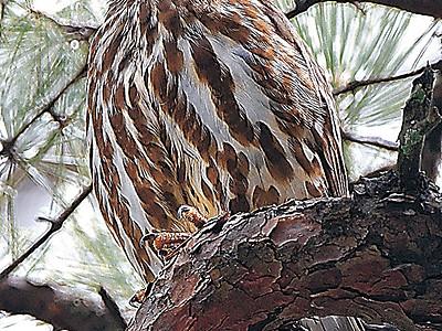 兼六園にフクロウの仲間「アオバズク」 アカマツの枝で羽休め