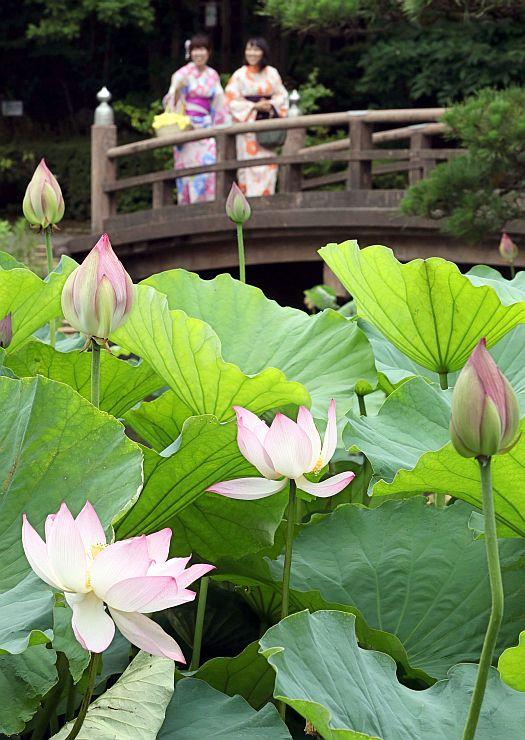 所々でピンク色の花が姿を見せ始めた白山神社のハス池=12日、新潟市中央区