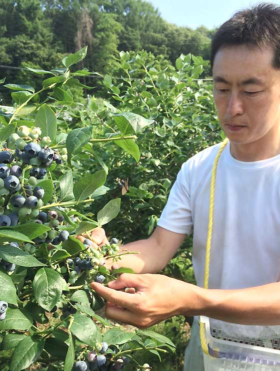 紫色に実ったブルーベリーを収穫する由井さん