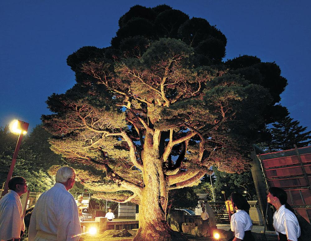 ライトアップされた「甦りの五葉松」=金沢市の石川護国神社