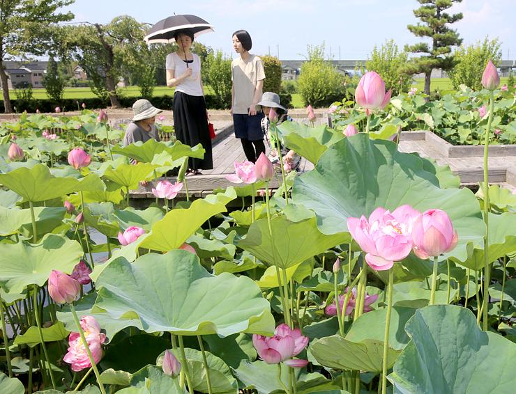 ピンクの花を咲かせたハスに見入る人たち=朝日町歴史公園