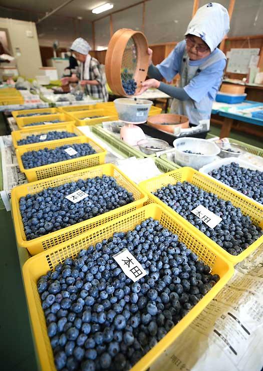 ブルーベリーの収穫が最盛期を迎えた大鹿村。選別作業が慌ただしく行われている=18日