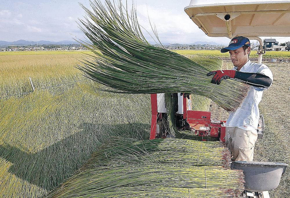 刈り取りが始まった小松特産のイ草=小松市白江町