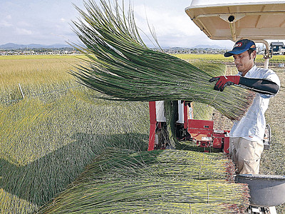 小松特産イ草、青々 刈り取り始まる