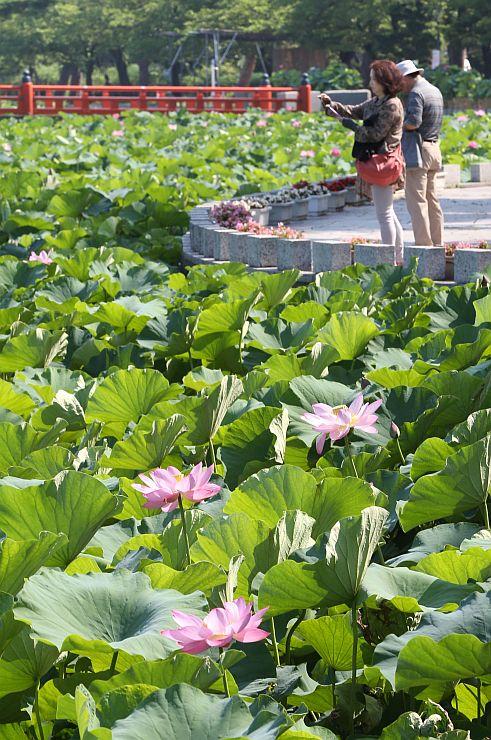 緑とピンクのコントラストで水面(みなも)を彩るハス=20日、上越市の高田公園