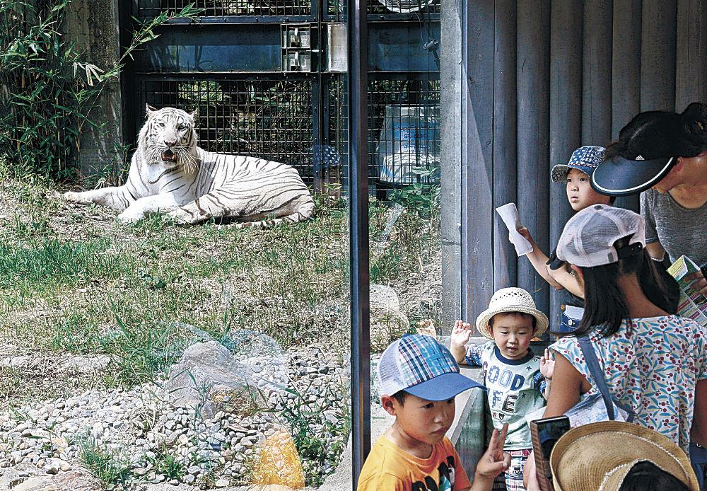 ホワイトタイガーの雄々しい姿に見入る来場者=能美市のいしかわ動物園
