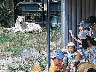 ホワイトタイガー「かっこいい」 いしかわ動物園でお披露目