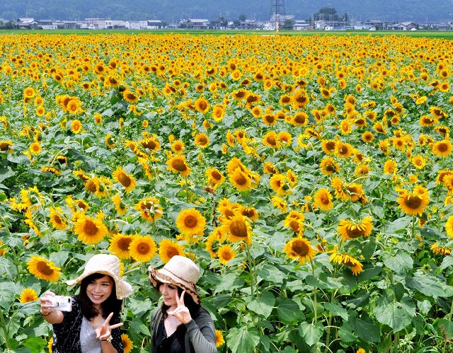 大輪が咲き誇り、見頃を迎えたヒマワリ畑=24日、福井県小浜市加茂