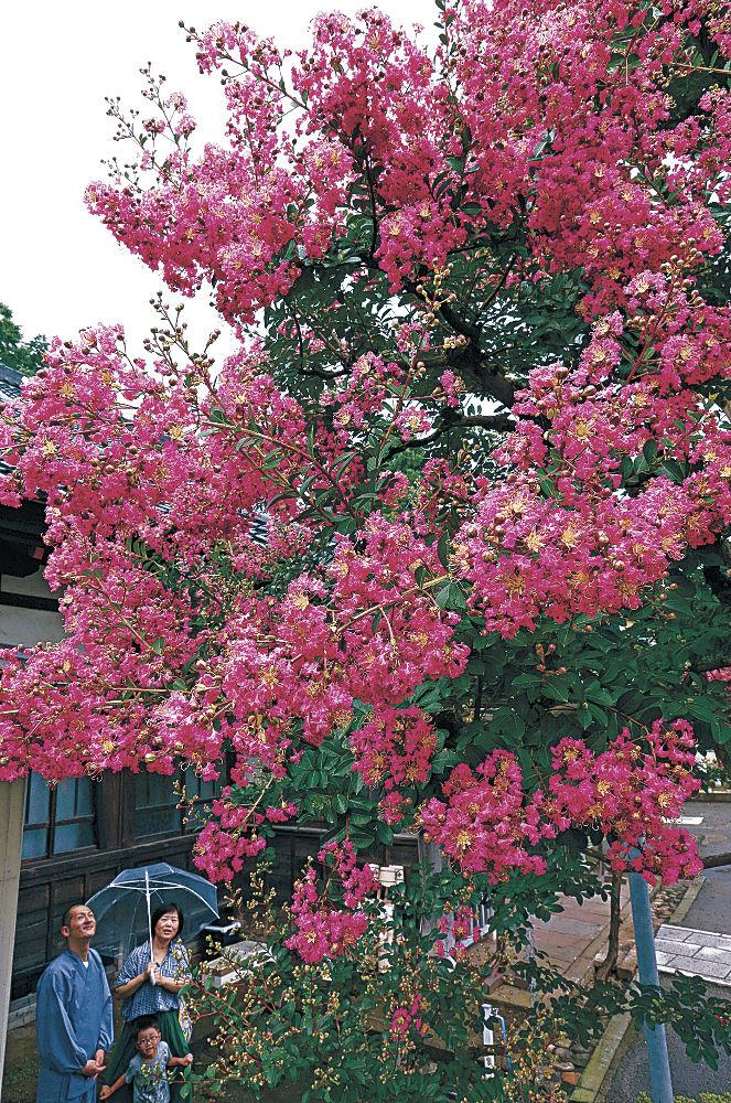 鮮やかなピンクの花を付けるサルスベリ=金沢市寺町4丁目の妙法寺