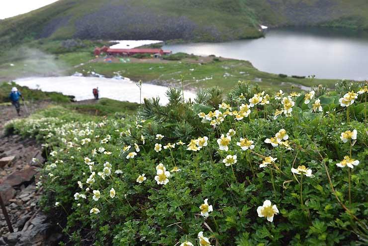 白馬大池(後方)近くで見頃のチングルマ。道の脇で登山者を迎えている