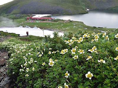 チングルマ、雨に際立つ白 北ア白馬大池