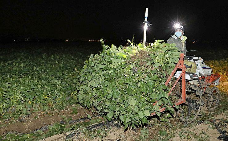 未明から始まる「くろさき茶豆」の収穫作業=4日午前1時ごろ、新潟市西区木場