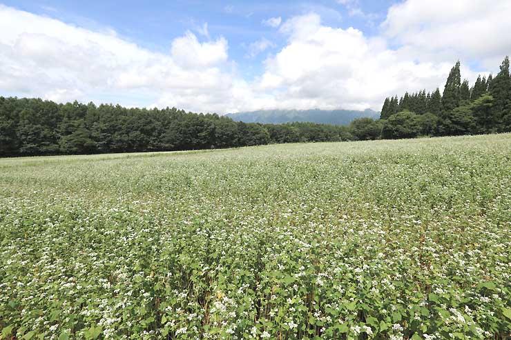 一面に咲いた白い花が高原の涼風に揺れるソバ畑=7日午前10時半、長野市戸隠豊岡