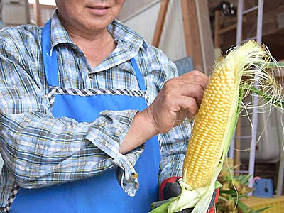 スイートコーン、甘みが病みつき 東御で収穫最盛期