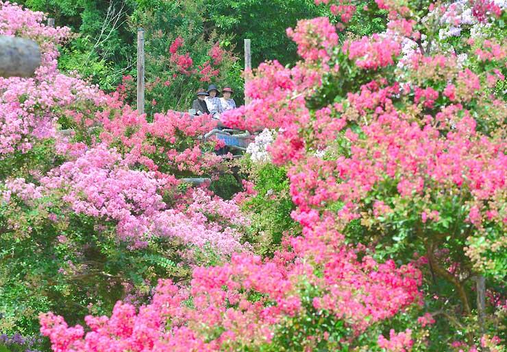 鮮やかさを競うサルスベリ。見晴らし台(中央)の人たちが花に埋もれるよう=17日
