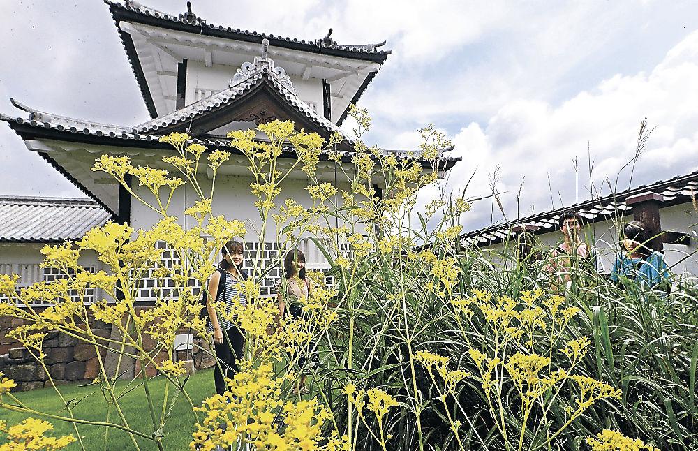 秋の気配を感じさせるオミナエシ=金沢城公園