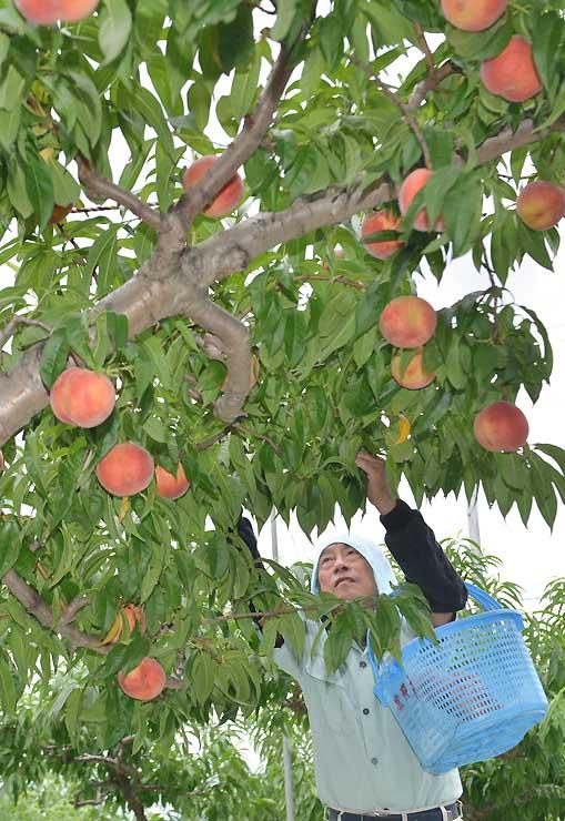 早朝から桃の収穫に追われる農家=25日午前6時17分、長野市川中島町今井