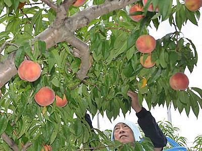 甘くて丸々、川中島の桃 長野で収穫ピーク