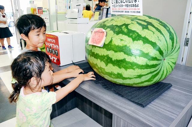 福井県あわら市産のジャンボスイカ。重さを当てると商品券がもらえる=24日、福井市のハピリン1階