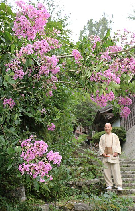 見頃を迎えたサルスベリ=29日、佐渡市長谷の長谷寺