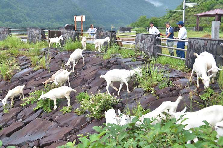 味噌川ダム本体に生えた草を食べるヤギ。斜面はお手のもの?