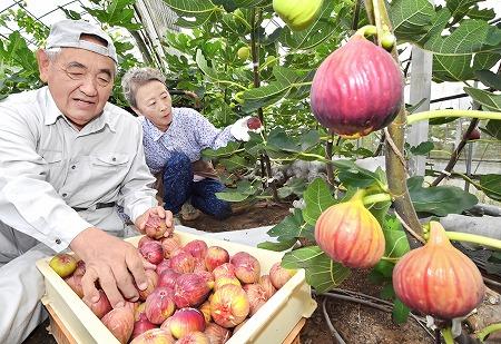 収穫のピークを迎えている本郷イチジク=23日、福井市八幡町