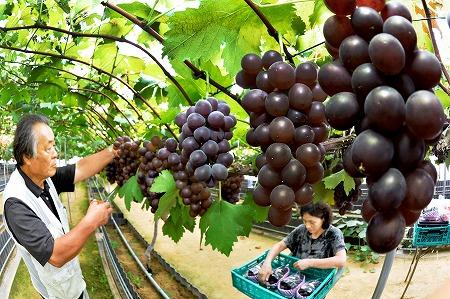 豊かに実り収穫を迎えたブドウ=30日、福井市清水町