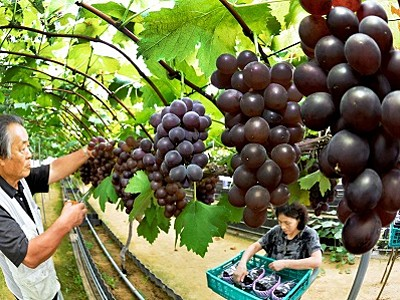 ずっしり実りの秋 福井でブドウ収穫