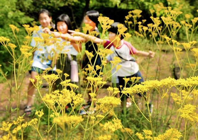 見頃を迎えている「オミナエシ」の黄色い花=31日、福井県越前町の福井総合植物園プラントピア