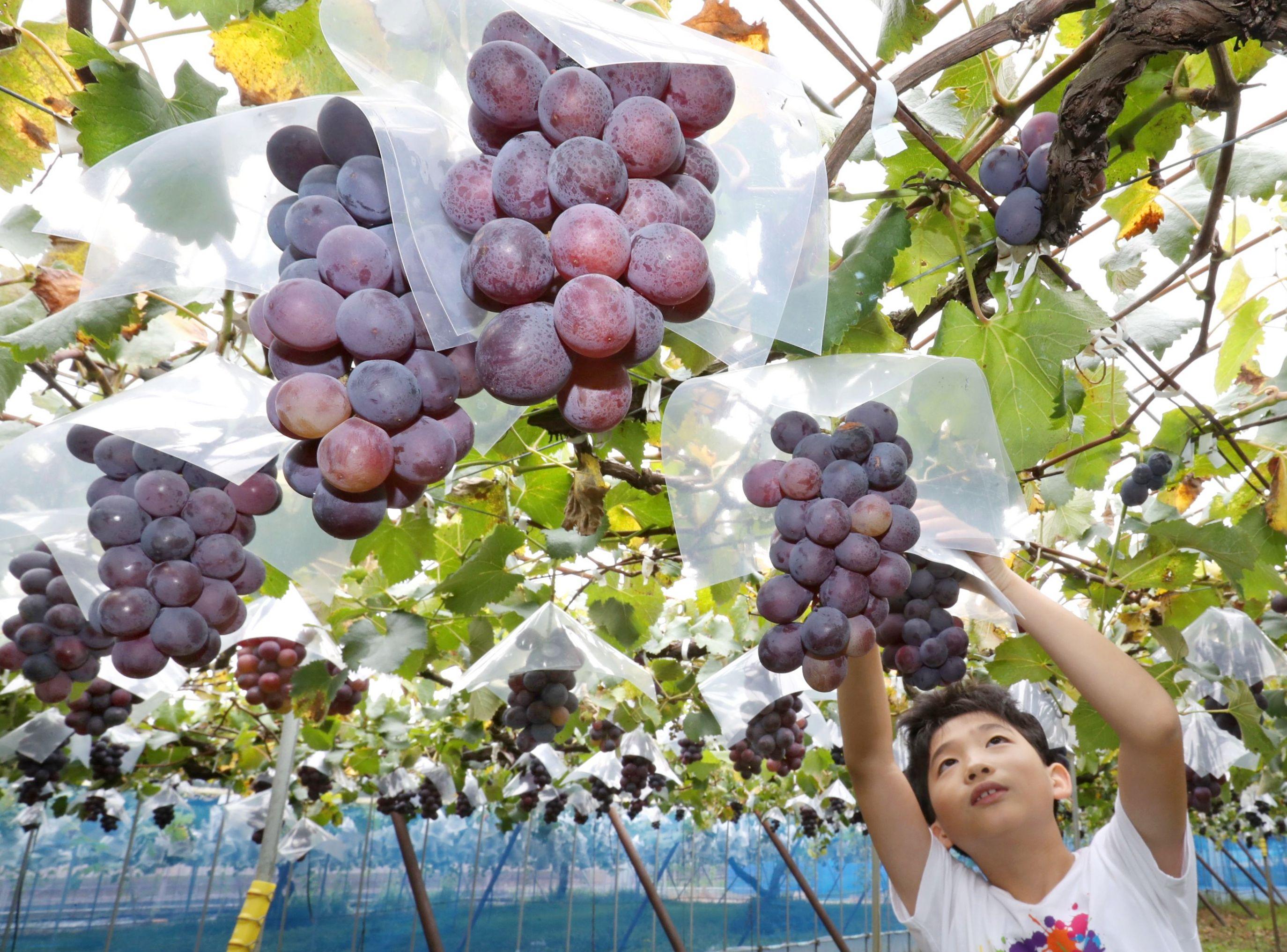 ブドウ狩りを楽しむ子ども=31日、新潟市南区鷲ノ木新田