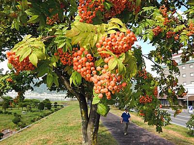 秋色に染まり始めたナナカマド 諏訪湖畔