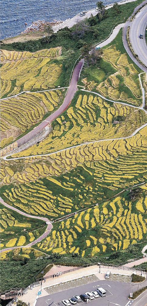 黄金色に輝く稲が幾何学模様を描く輪島市の白米千枚田=北國新聞社ヘリ「あすなろ」から